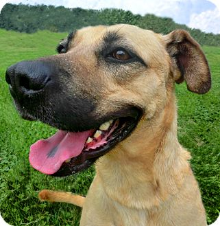 Boxer/Shepherd (Unknown Type) Mix Dog for adoption in New Cumberland, West Virginia - LUCAS