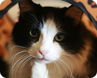 Domestic Mediumhair Cat for adoption in Canoga Park, California - Maggie May 2