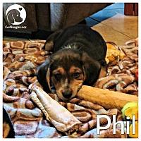 Adopt A Pet :: Phil - Novi, MI