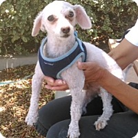 Adopt A Pet :: Louie - Corona, CA