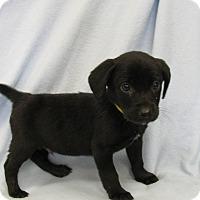 Adopt A Pet :: Revis - Groton, MA