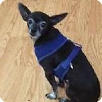 Chihuahua Mix Dog for adoption in Seattle, Washington - Sparkey