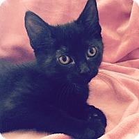 Adopt A Pet :: Marmite - Addison, IL