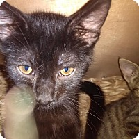 Domestic Shorthair Kitten for adoption in Owenboro, Kentucky - PANSY