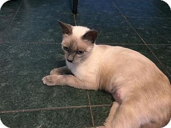 Siamese Cat for adoption in Cypress, Texas - Gina