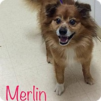 Adopt A Pet :: Merlin - Knoxville, TN