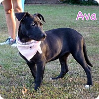 Adopt A Pet :: Ava - Groton, MA