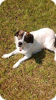 Spaniel (Unknown Type) Mix Dog for adoption in GREENLAWN, New York - Buster