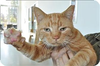 Domestic Shorthair Cat for adoption in Hyde Park, New York - Simba