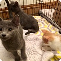 Adopt A Pet :: Ash - Colmar, PA