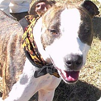 Adopt A Pet :: Shasta - Lebanon, ME
