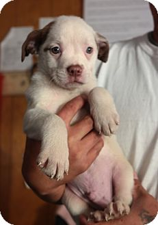 Boston Terrier/Border Collie Mix Puppy for adoption in San Pablo, California - BOSTON 2