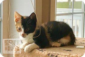 Calico Kitten for adoption in Mendota, Illinois - Natalie