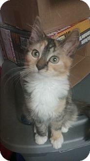 Calico Kitten for adoption in wyoming valley, Pennsylvania - Autumn