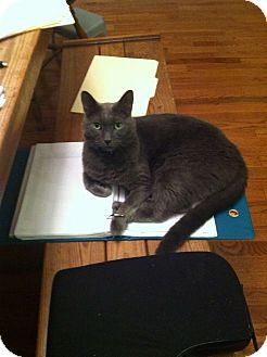 Domestic Shorthair Cat for adoption in Monroe, North Carolina - Fezzik