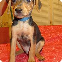 Adopt A Pet :: Inca - Harrisonburg, VA