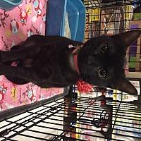 Adopt A Pet :: Anuket - McKinney, TX