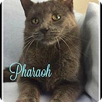 Adopt A Pet :: Pharaoh - Gonic, NH