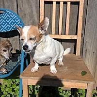 Adopt A Pet :: Coco Girl - Aqua Dulce, CA