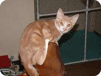 Domestic Shorthair Kitten for adoption in Scottsdale, Arizona - Brooks-pretty & cuddly