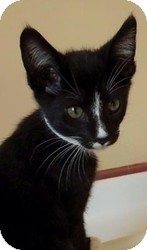 Domestic Shorthair Kitten for adoption in Calumet City, Illinois - Adolf