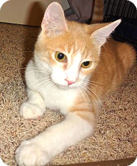 Domestic Shorthair Kitten for adoption in Escondido, California - Mason