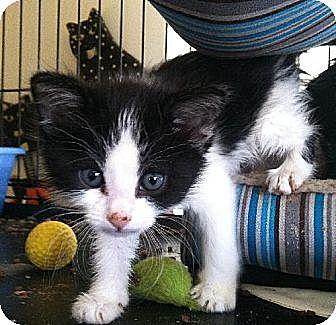 Domestic Shorthair Kitten for adoption in Los Angeles, California - kittens kittens kittens!!!
