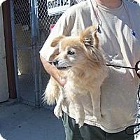 Adopt A Pet :: SPRITZER - Malibu, CA