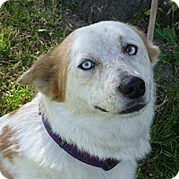 Adopt A Pet :: Haley - Sacramento, CA