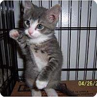 Adopt A Pet :: Chubby - Island Park, NY