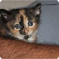 Adopt A Pet :: Kittens - Barnegat, NJ