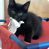 Adopt A Pet :: Raven - Sterling Hgts, MI