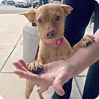 Adopt A Pet :: Foxy - San Antonio, TX
