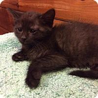 Adopt A Pet :: Scarlett Johanson black smoke - McDonough, GA