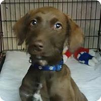 Adopt A Pet :: Atlas - House Springs, MO
