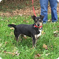 Adopt A Pet :: Jack (Pom-ec) - Allentown, PA