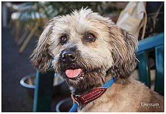 Lhasa Apso/Corgi Mix Dog for adoption in Canoga Park, California - Buster
