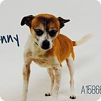 Adopt A Pet :: Denny - Pacific Palisades, CA