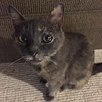 Domestic Shorthair Cat for adoption in Morganton, North Carolina - Isabella