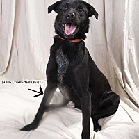 Border Collie/Hound (Unknown Type) Mix Dog for adoption in St. Louis, Missouri - Jared Hound BC Mix