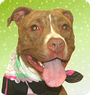 American Staffordshire Terrier Mix Dog for adoption in Cincinnati, Ohio - Koda