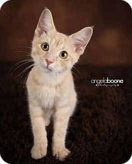 Domestic Shorthair Kitten for adoption in Shakopee, Minnesota - Tickles C1432