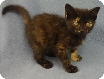 Domestic Shorthair Kitten for adoption in Olive Branch, Mississippi - Charity