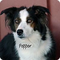 Adopt A Pet :: Pepper - Idaho Falls, ID