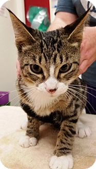 Domestic Shorthair Cat for adoption in Kalamazoo, Michigan - Andy