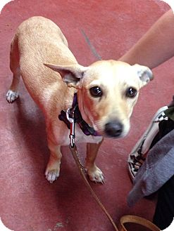 Chihuahua/Terrier (Unknown Type, Medium) Mix Dog for adoption in Tehachapi, California - Sunny