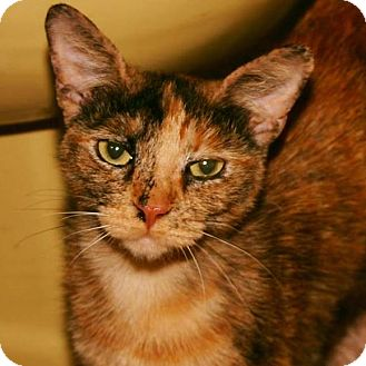 Domestic Shorthair Cat for adoption in Eureka, California - Scarlett