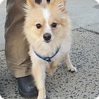 Pomeranian Dog for adoption in Bronx, New York - Mikey