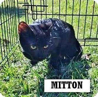 Domestic Shorthair Kitten for adoption in Manchester, Connecticut - Mitten Man (in CT)