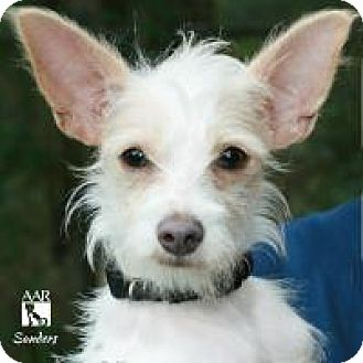 Yorkie, Yorkshire Terrier/Chihuahua Mix Dog for adoption in Tomball, Texas - Sanders